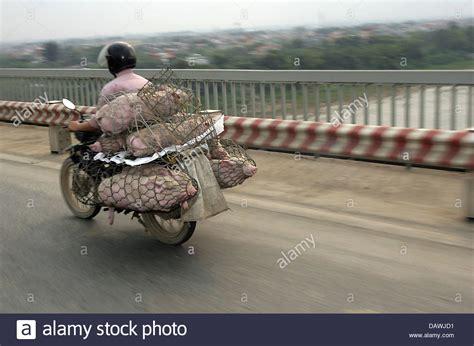 Motorrad Transport Portugal Deutschland by Pigs Transport Stockfotos Pigs Transport Bilder Alamy