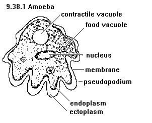 labelled diagram of entamoeba histolytica common intestinal parasites healthng