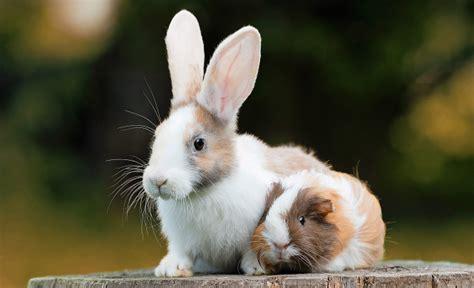 meerschweinchen und kaninchen in einem stall winterk 228 lte kein problem gl 252 ckspost