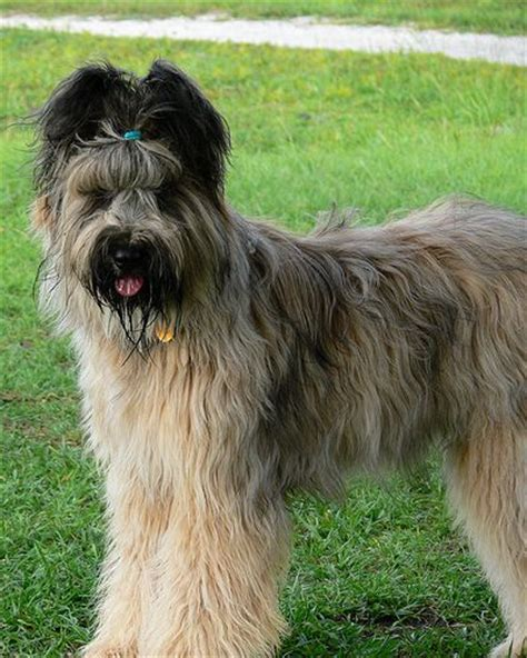list of purebred dogs 113 best images about briard on