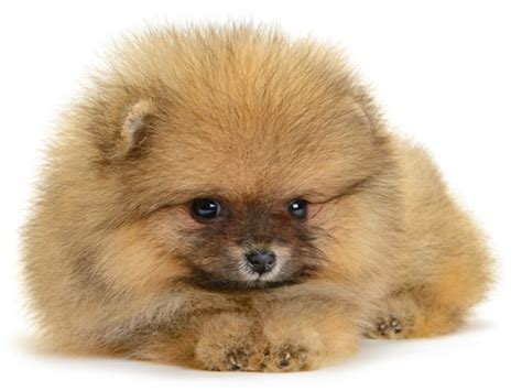 pomeranian facts pomeranian pomeranian pet insurance breed info