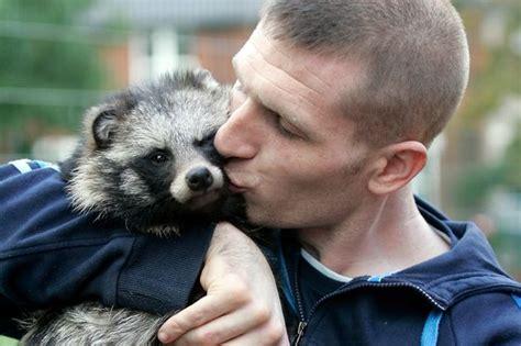 raccoon dog pet