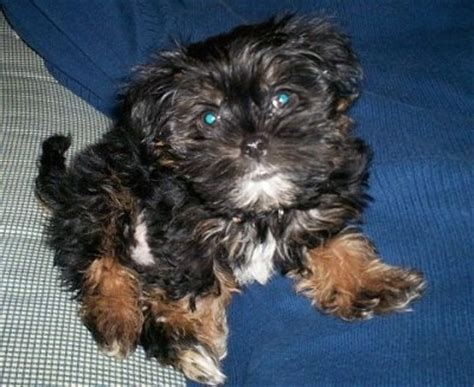 shih tzu and yorkie mix puppies shorkie tzu breed information and pictures