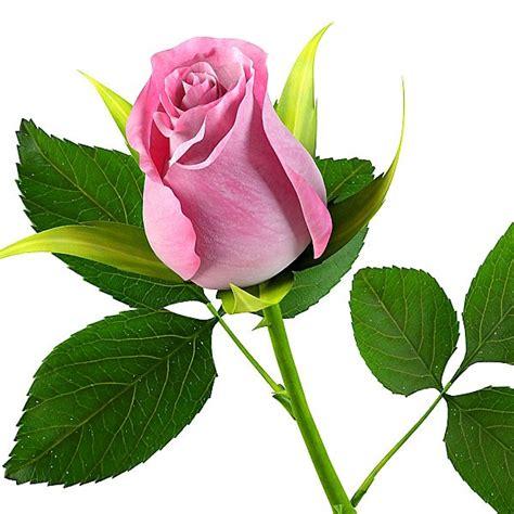 setangkai bunga mawar pink clipart