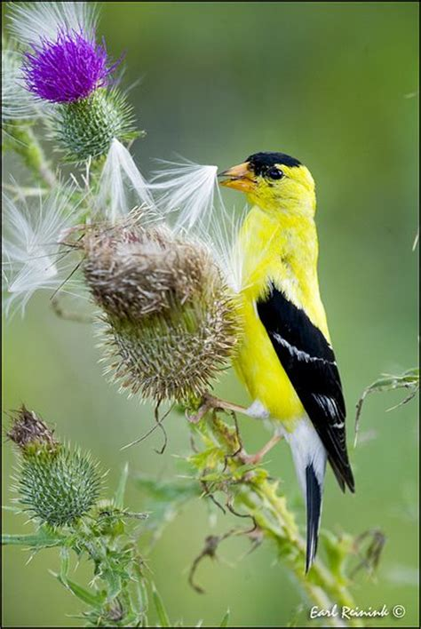 1000 images about gold finch on pinterest sunflower