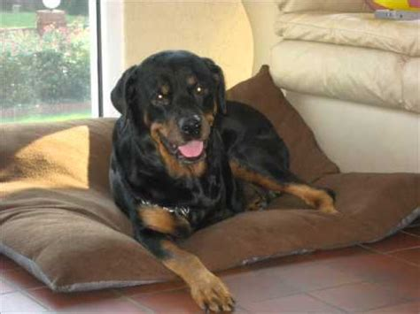 rottweiler cancer rottweiler cancer quot jade quot in loving memory r i p