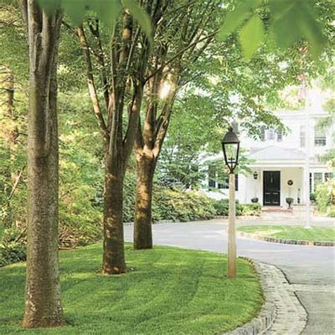 Green Vase Zelkova Problems by Growing Grass A Shade Tree Your Toughest Lawn