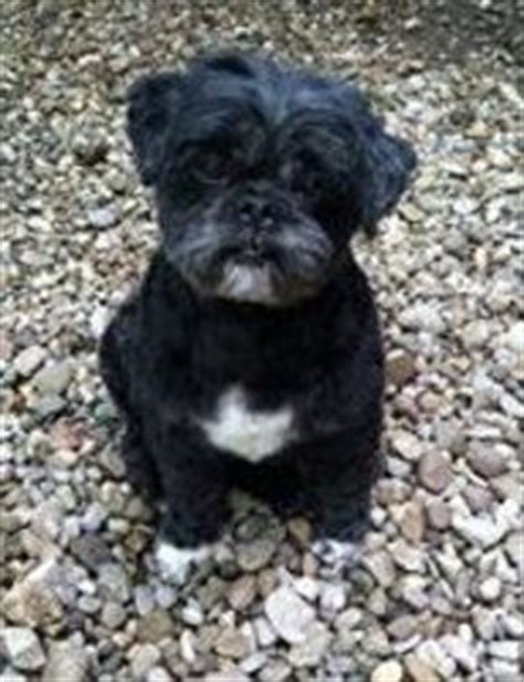 lhasa apso pug mix magilla is an adoptable lhasa apso in wooster oh meet magilla aka mr