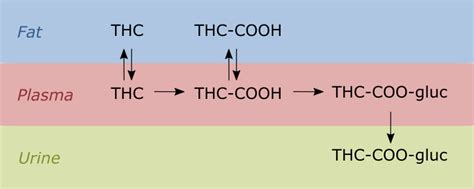 Thc Cooh Detox by Testing Myth Exercise Releases Thc From Cells