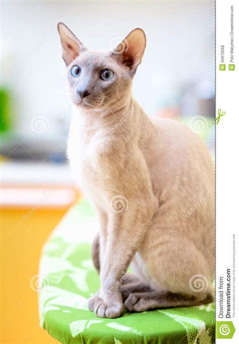 Hairless Cat stock photo. Image of bald, closeup, gray
