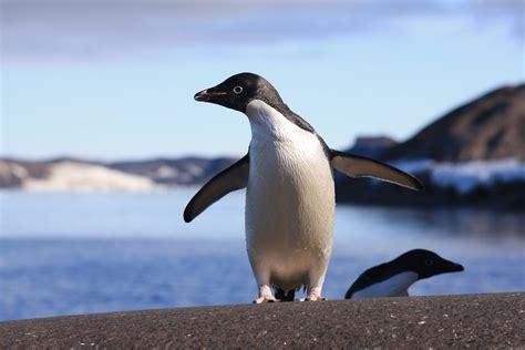 Penguin S shrinking antarctic glaciers could make ad 233 lie penguins