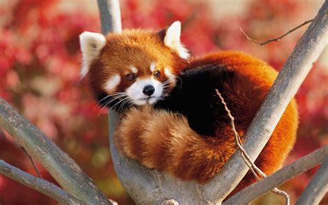 read panda panda on a tree teh