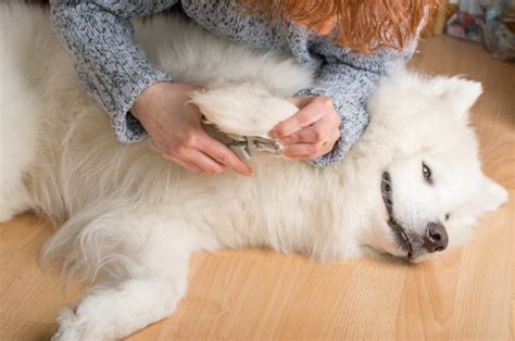 my female semoyed dog is not eating oooo and she is pregnant pets nigeria samoyed dogs puppies care information dog breeds