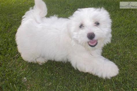 coton de tulear puppies for sale in nc gorgeous white coton puppy coton de tulear puppy for sale near wilmington
