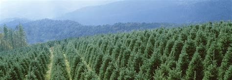choose and cut north carolina christmas tree in the high
