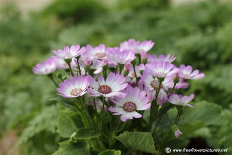 image for flowers cineraria flower picture flower pictures 5431