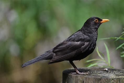 passeriformes common blackbird