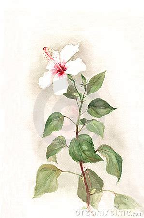 white hibiscus flower watercolor painting royalty