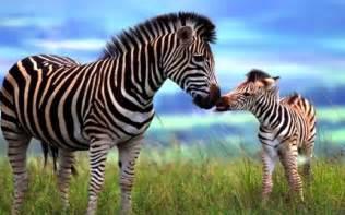 1600x1200px zebra zoo 524731