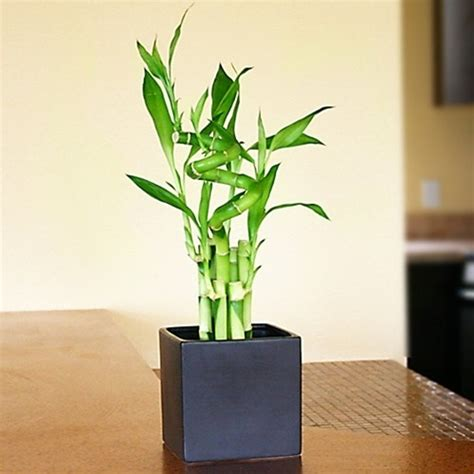 Plante Porte Malheur by Lucky Bamboo Arrangement Lucky 7 Spiral From Easternleaf