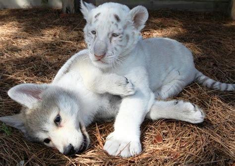 imagenes de tigres leones y leopardos fondos de escritorio de leones leopardos y tigres