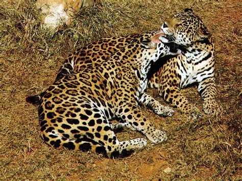 of jaguar freeics animal pictures of jaguars