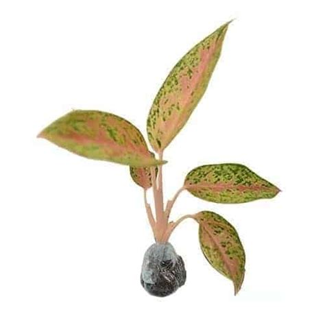 Aglaonema Widuri Bibit Tanaman Hias Daun Hidup Siap Kirim Bergaransi jual tanaman aglaonema legacy bibit