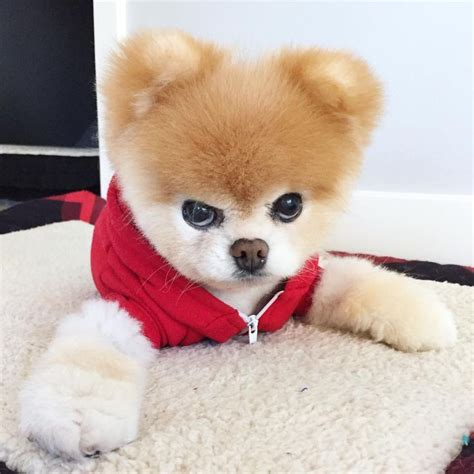 pomeranian puppy boo 47 best dogs boo buddy pomeranians images on bag beautiful and