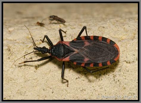 do bed bugs suck blood florida conenose kissing bug florida pest control