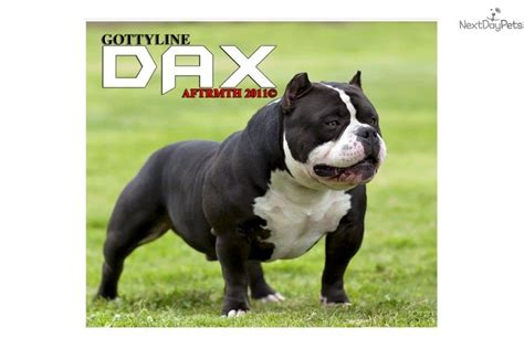 bully puppies for sale in nc bullies puppies for sale in nc images