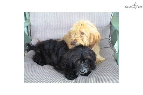 doxiepoo puppies for sale doxiepoo puppies www imgkid the image kid has it