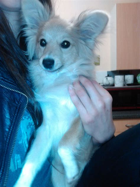 pomeranian x papillon pomeranian x papillon for sale woodbridge suffolk pets4homes