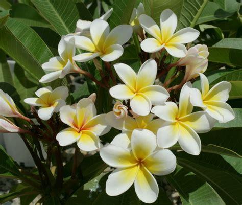 frangipani cream  yellow centre common  cream