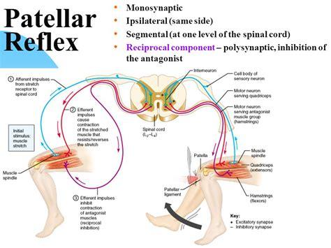 diagram of knee reflex diagram of a knee reflex choice image how to guide