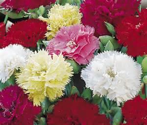 Carnation chabaud mix seeds dianthus caryophyllus