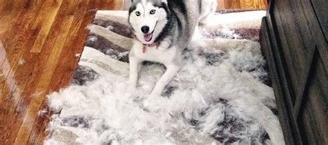 Do Dogs Shed When Stressed by Do Huskies Shed Caution The Can Hurt