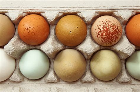 chicken eggs    colors pineshine