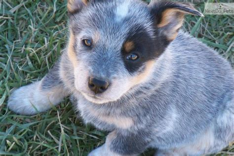 queensland puppies queensland heeler puppy for sale near chattanooga tennessee 661ecf90 8e81