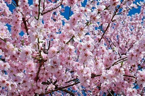 fior di ciliegio fiori di ciliegio significato quando e dove vedere