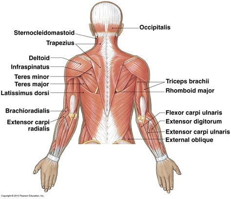 diagram of back muscles back diagram anatomy of back muscles