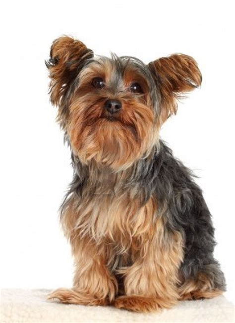how to clip a yorkie yorkie puppies clip breeds picture