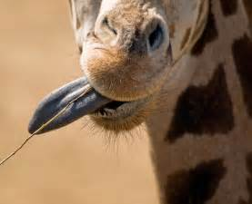 what color are giraffes tongues tongue length and other things you should about