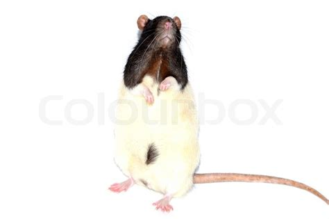 how to your to stand on hind legs lab rat standing on hind legs stock photo colourbox