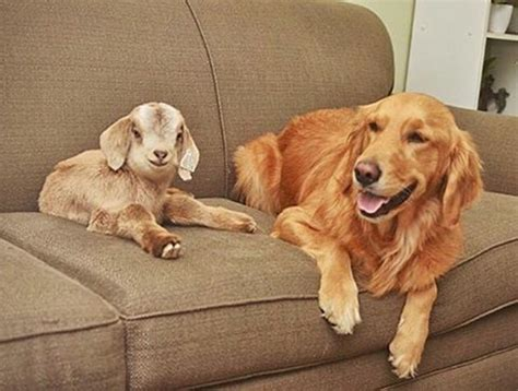 golden retriever with baby this thinks she is the of these baby goats can