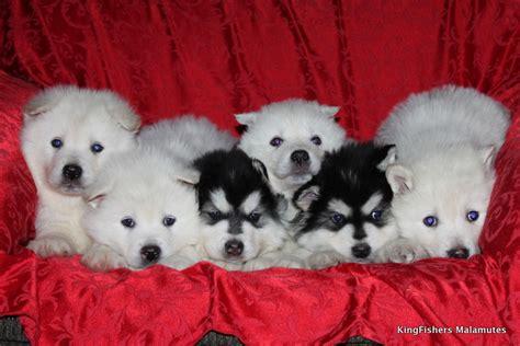 alaskan malamute puppies rescue alaskan malamute puppies for sale adoption kingfishers alaskan malamutes