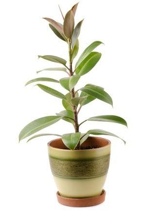rubber plant ficus elastica care  growing information