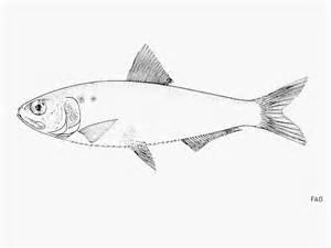 fish identification