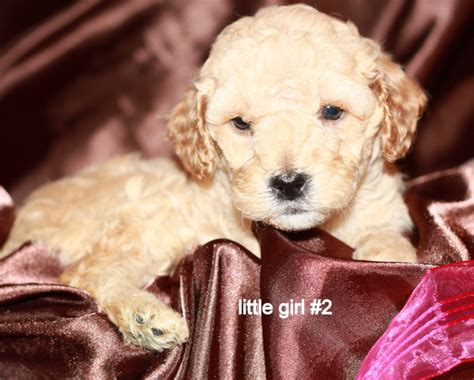 goldendoodle puppy rescue san diego home how to adopt