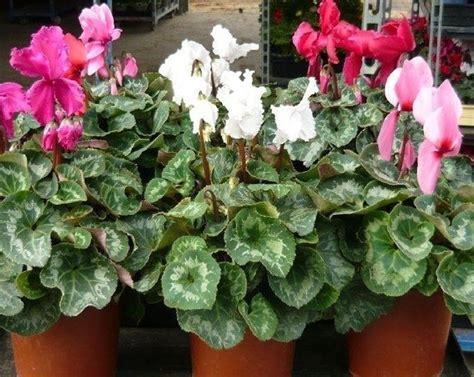 pianta da interni pianta da interno piante appartamento caratteristiche