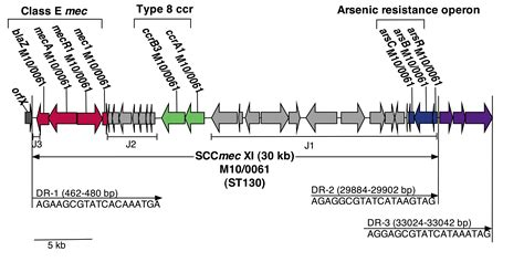 DETECTION OF STAPHYLOCOCCAL CASSETTE CHROMOSOME mec Type ... Y Chromosome